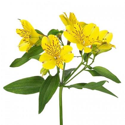 Альстромерия желтая поштучно