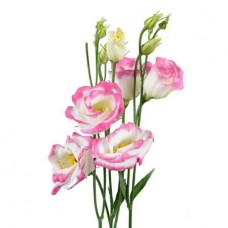 Эустома светло-розовая поштучно