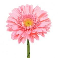 Гербера светло-розовая поштучно