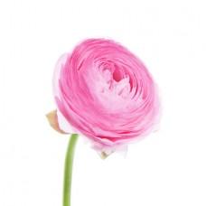 Лютик розовый поштучно