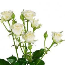 Кустовая роза белая поштучно
