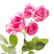 Кустовая роза двухцветная поштучно