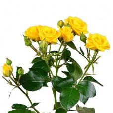 Кустовая роза желтая поштучно
