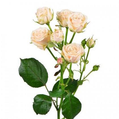 Кустовая роза кремовая поштучно
