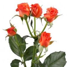Кустовая роза оранжевая поштучно
