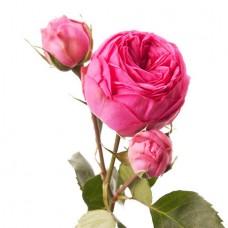 Роза кустовая пионовидная розовая поштучно