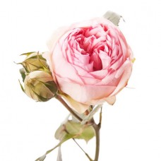 Роза кустовая пионовидная светло-розовая поштучно