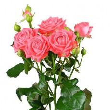 Роза кустовая розовая поштучно