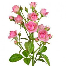 Роза кустовая светло-розовая поштучно