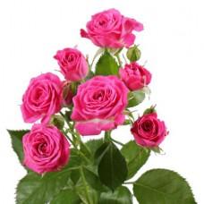 Роза кустовая ярко-розовая поштучно