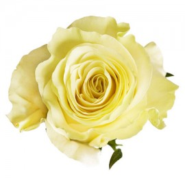 Роза белая поштучно