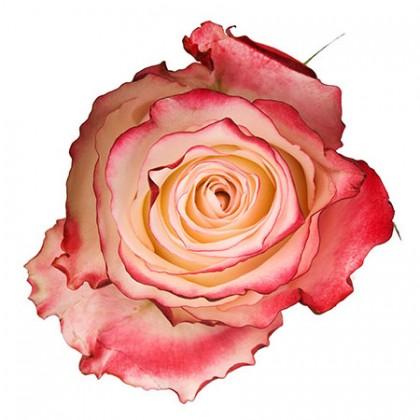 Роза бело-розовая поштучно
