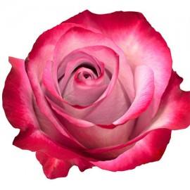 Роза черничная поштучно