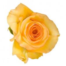 Роза желтая поштучно