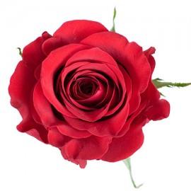 Роза красная поштучно