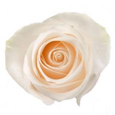 Роза кремовая поштучно