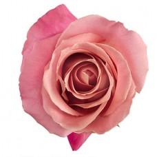 Роза светло-розовая поштучно