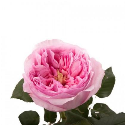 Роза пионовидная розовая Carey