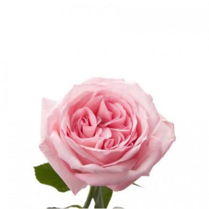 Роза пионовидная розовая Ohara