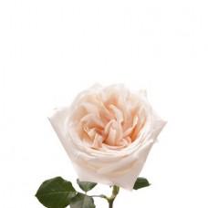 Роза пионовидная белая Ohara
